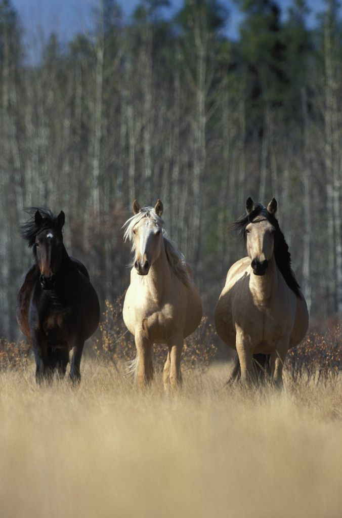 horses of the chilcotin